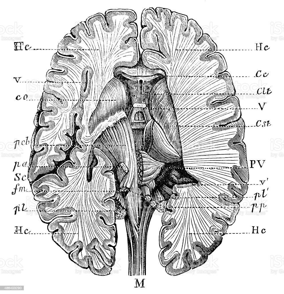Antique medical scientific illustration high-resolution: brain vector art illustration