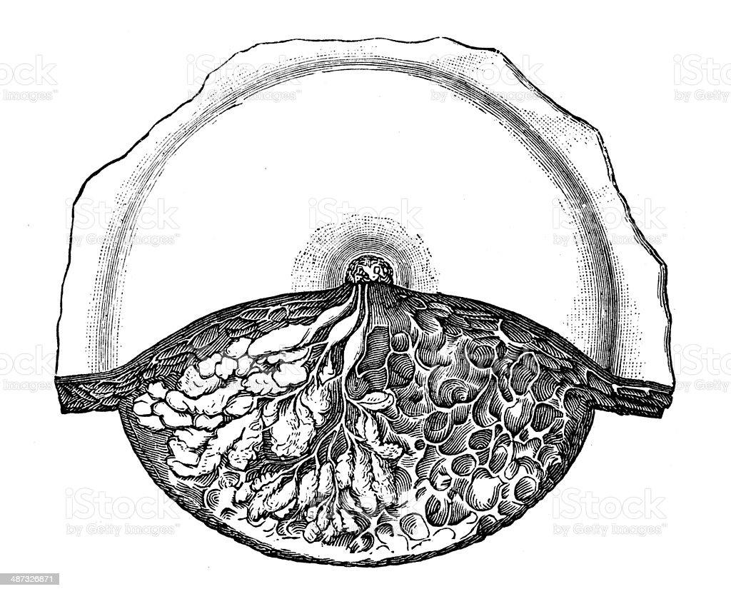 Antique medical scientific illustration high-resolution: breast section vector art illustration