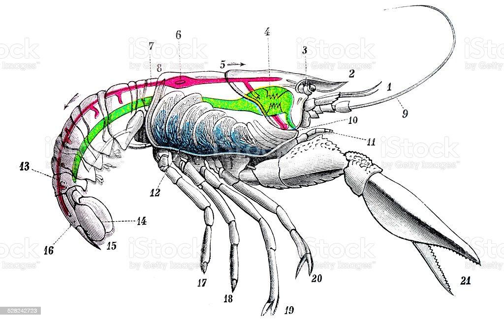 Antique medical scientific illustration high-resolution: European freshwater crayfish vector art illustration