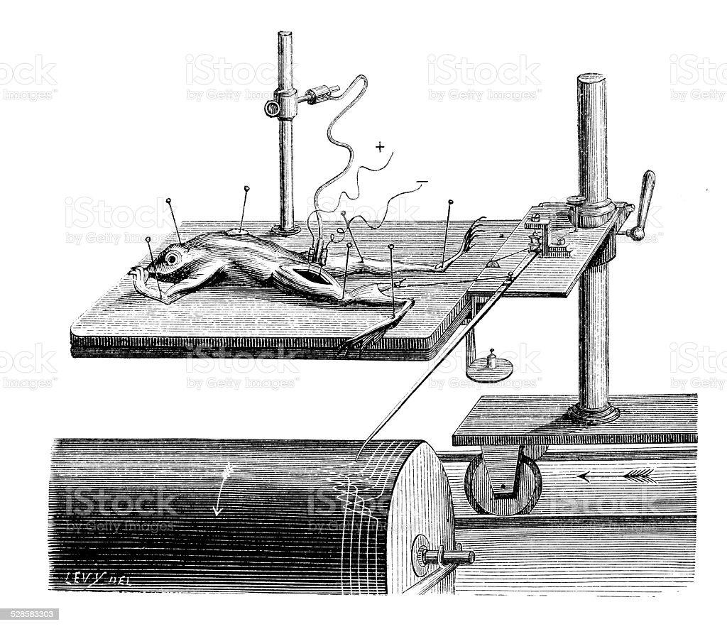 Antique medical scientific illustration high-resolution: experiment on frog vector art illustration