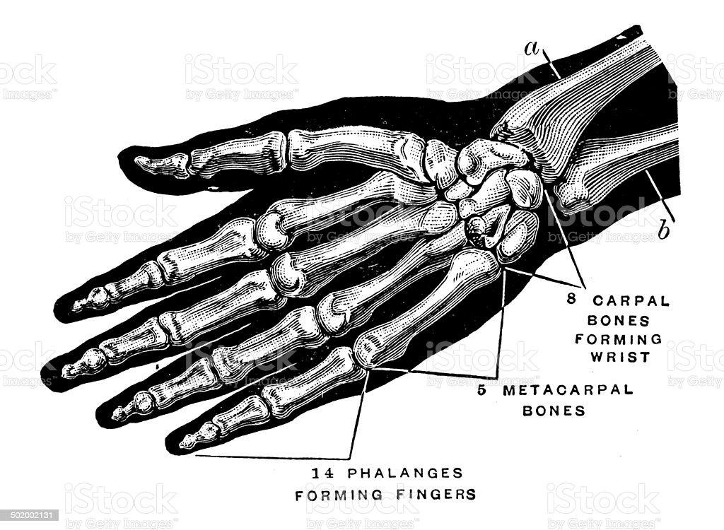Antique medical scientific illustration high-resolution: hand bones vector art illustration