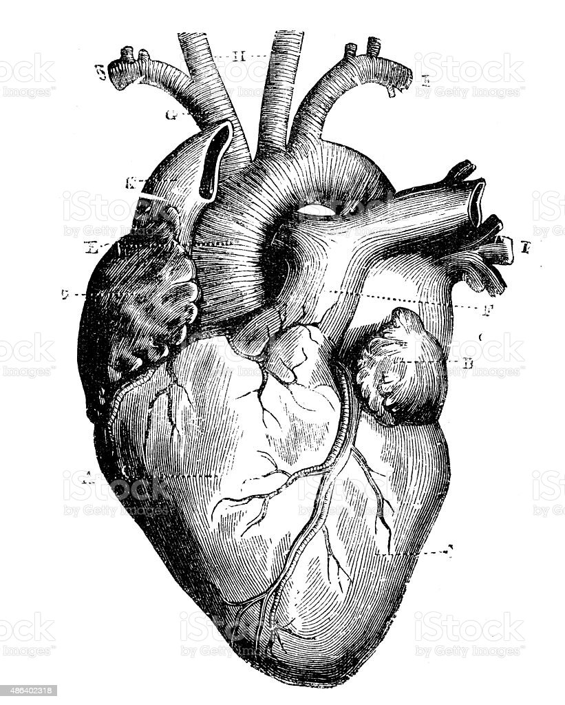Antique medical scientific illustration high-resolution: heart vector art illustration