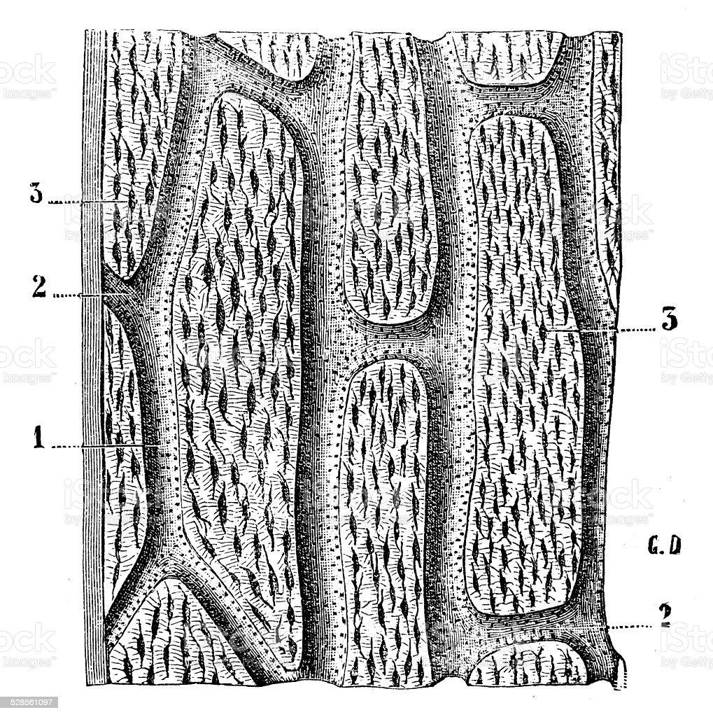 Antique medical scientific illustration high-resolution: human bone section vector art illustration