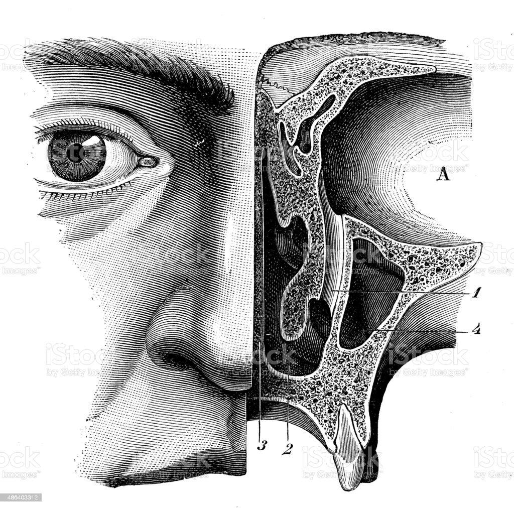 Antique medical scientific illustration high-resolution: human eye vector art illustration