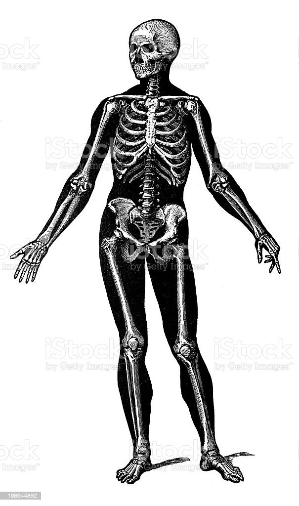 Antique medical scientific illustration high-resolution: Human skeleton royalty-free stock vector art