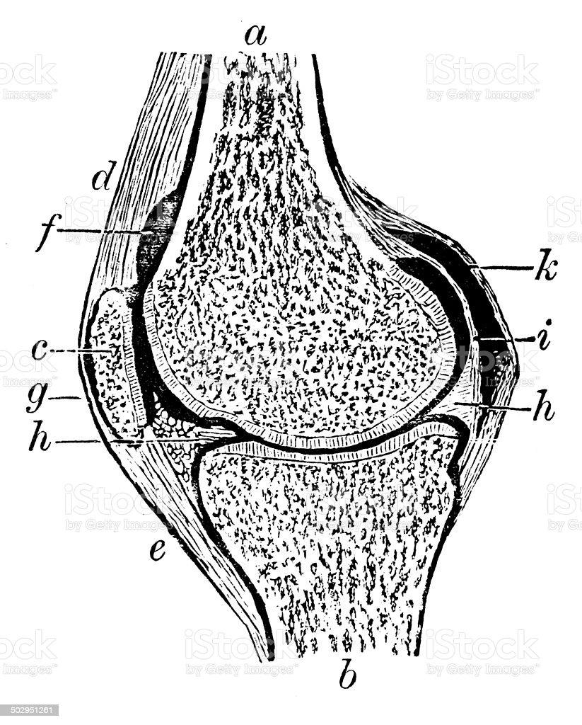 Antique medical scientific illustration high-resolution: knee vector art illustration