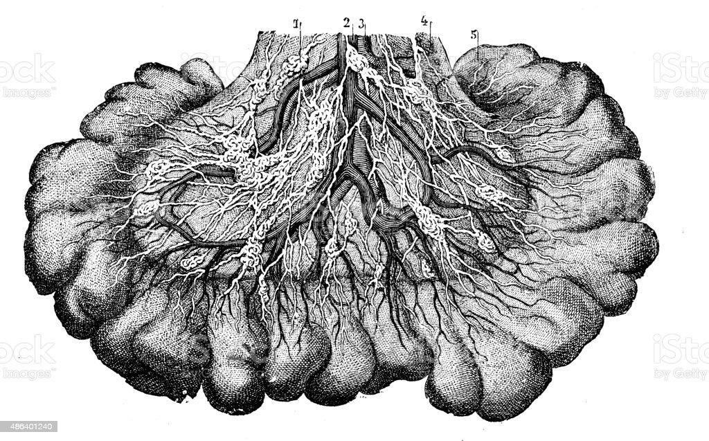 Antique medical scientific illustration high-resolution: Lacteal vector art illustration