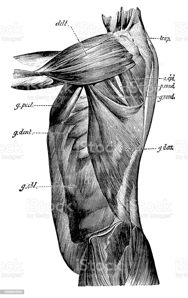 Antique medical scientific illustration high-resolution: torso muscles vector art illustration