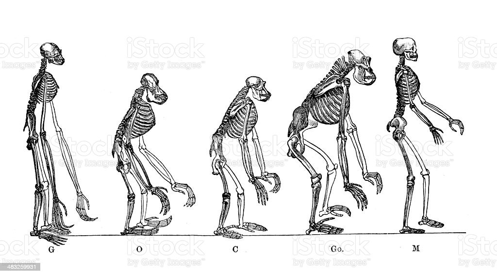 Antique medical scientific illustration: skeletons of anthropoid apes and man vector art illustration