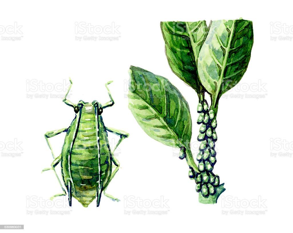 Aphid. A plant pest. Botany vector art illustration
