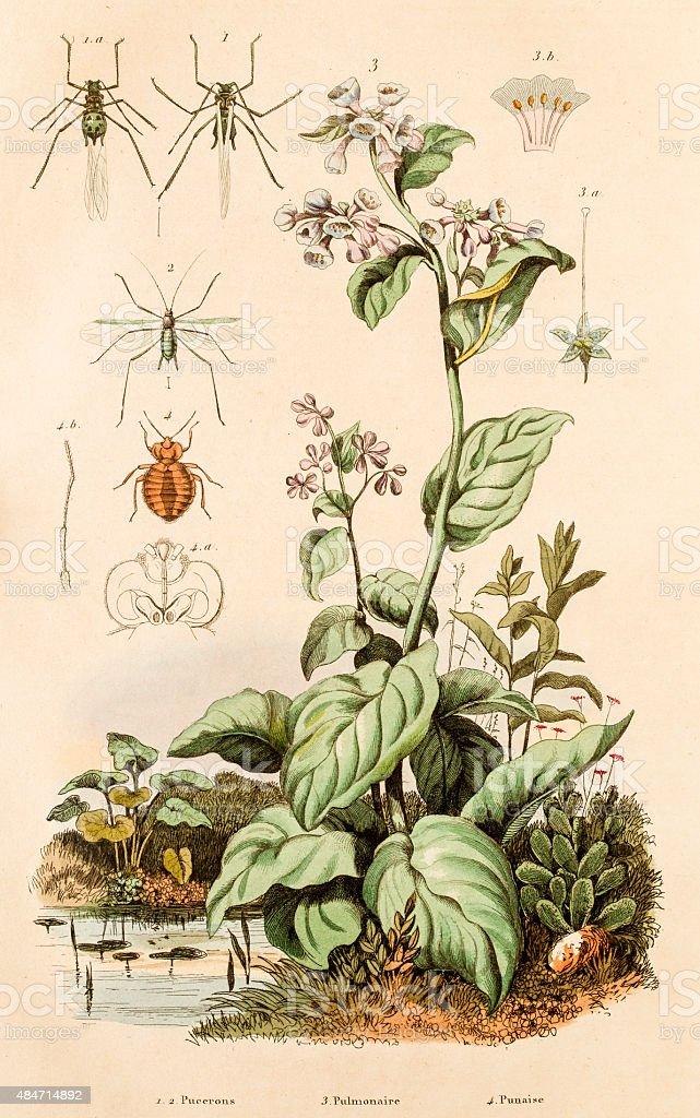 Aphid,  bedbug, tack and flies, 19 century botanical illustration vector art illustration