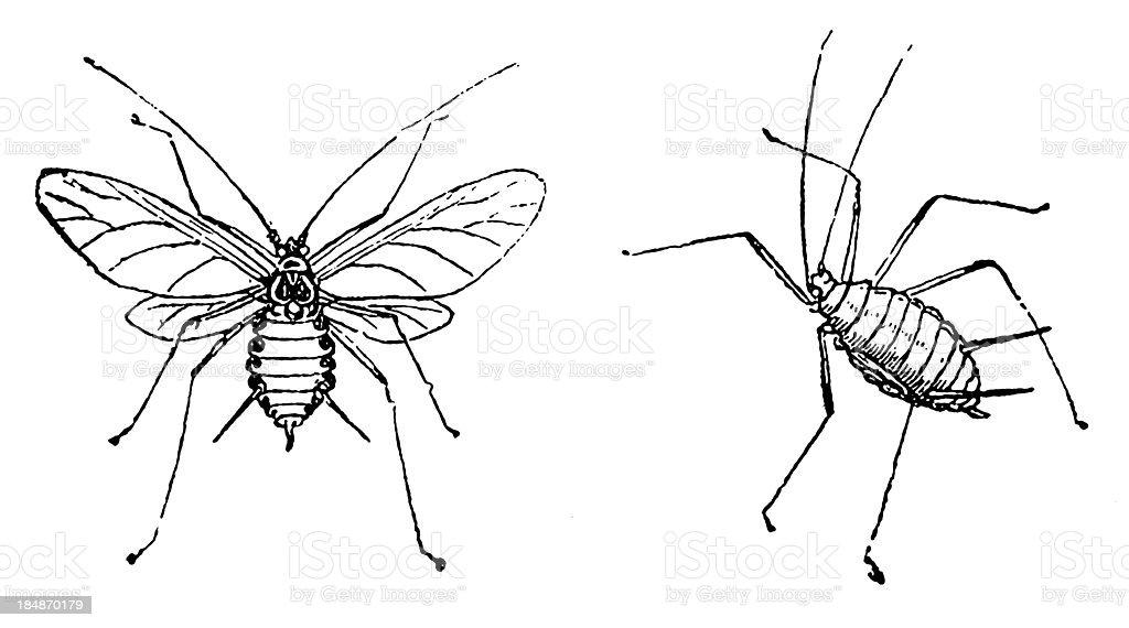 Aphid (Macrosiphum Rosae) vector art illustration