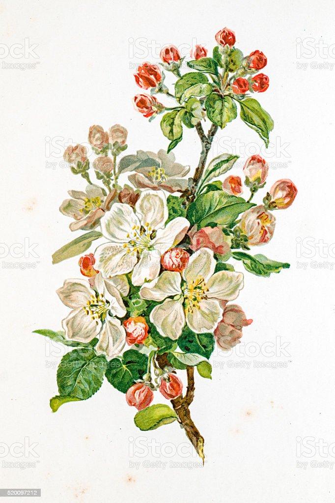 Apple blossom 19 century illustration vector art illustration