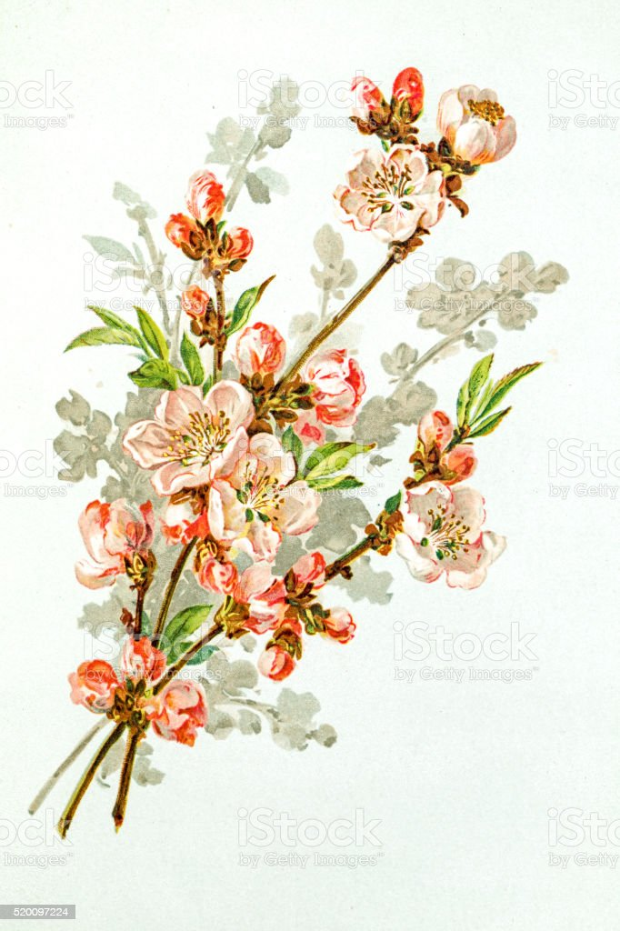 Apple blossom 19 century illustration vector art illustration