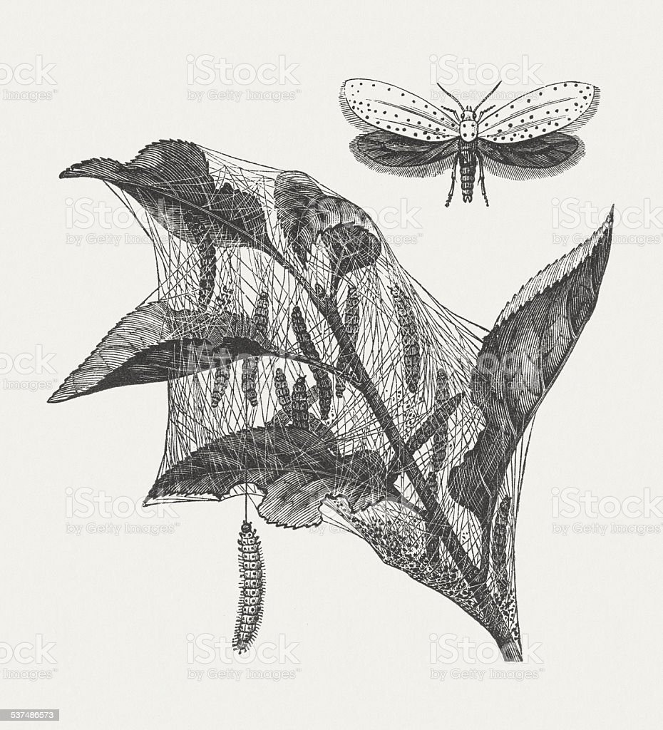 Apple ermine moth (Yponomeuta malinellus), wood engraving, published in 1882 vector art illustration