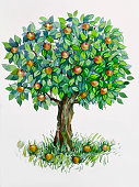 Apple tree . Watercolor