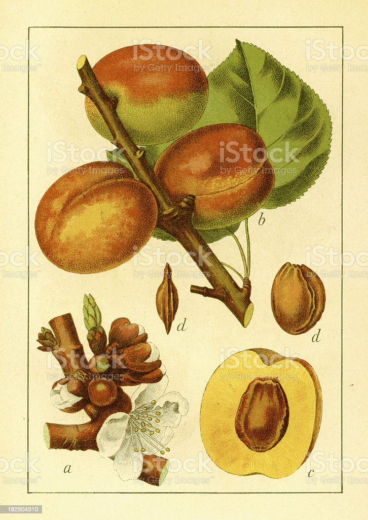 Apricot | Antique Flower Illustrations royalty-free stock vector art