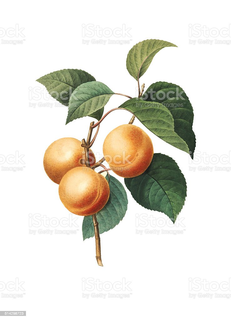 Apricot | Redoute Botanical Illustrations vector art illustration