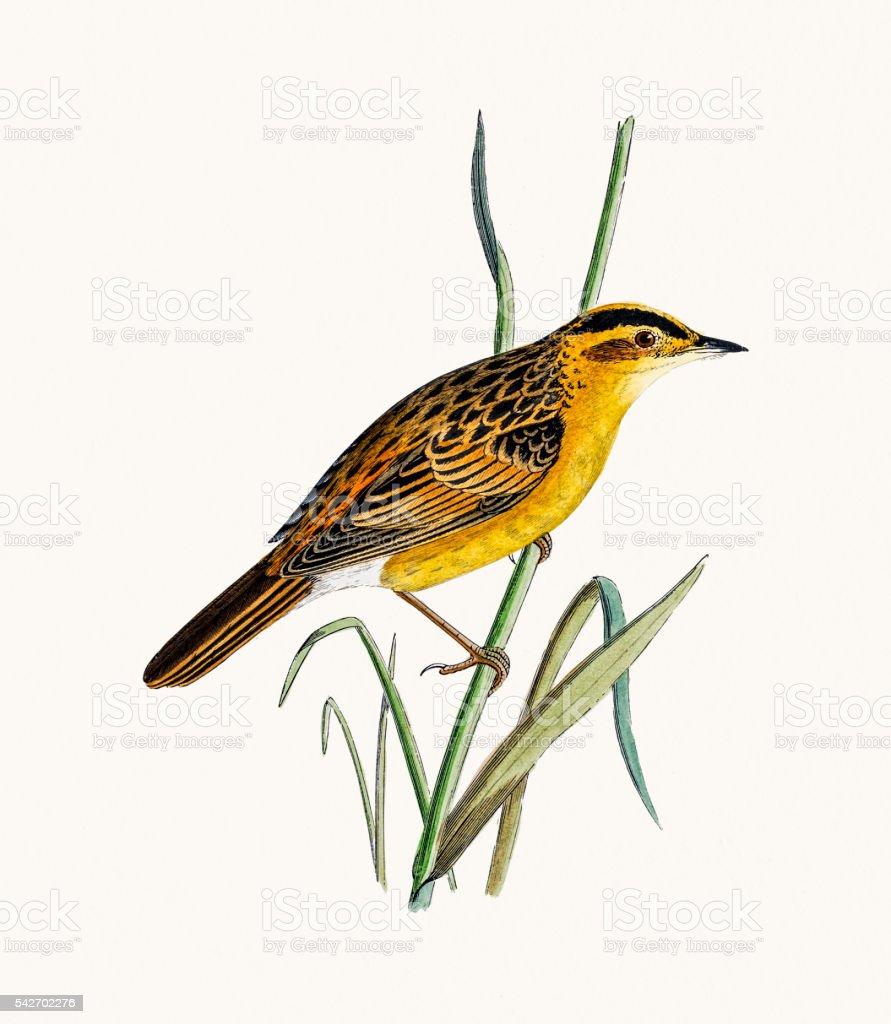 Aquatic warbler vector art illustration