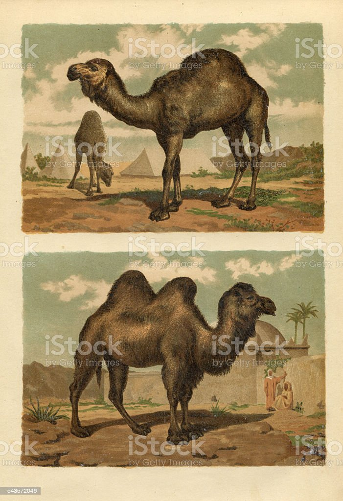 Arabian and Bactrian Camel engraving 1880 stock photo