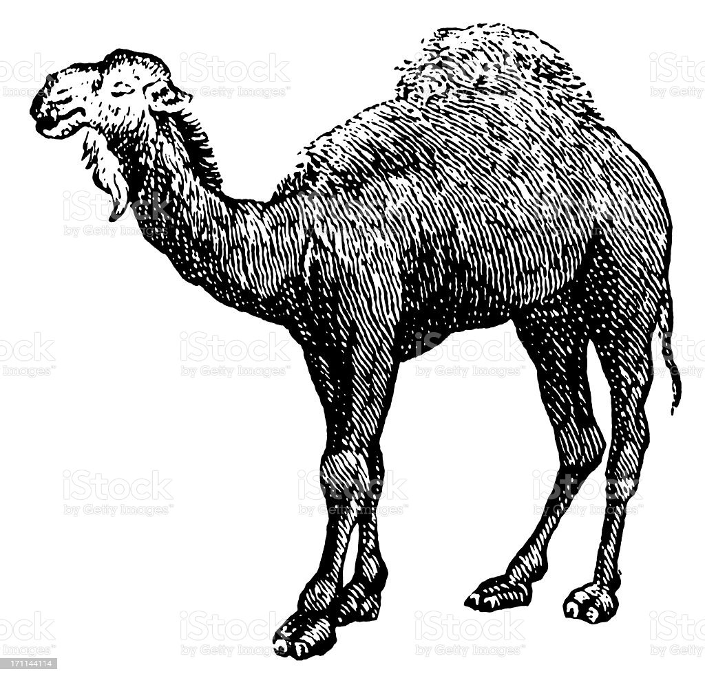 Arabian camel | Antique Animal Illustrations royalty-free stock vector art