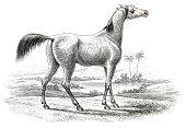 Arabian horse 1841