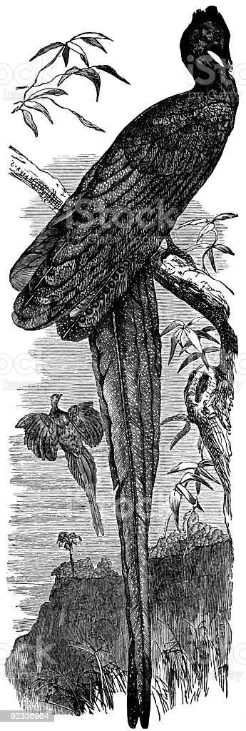 Argus pheasant vector art illustration