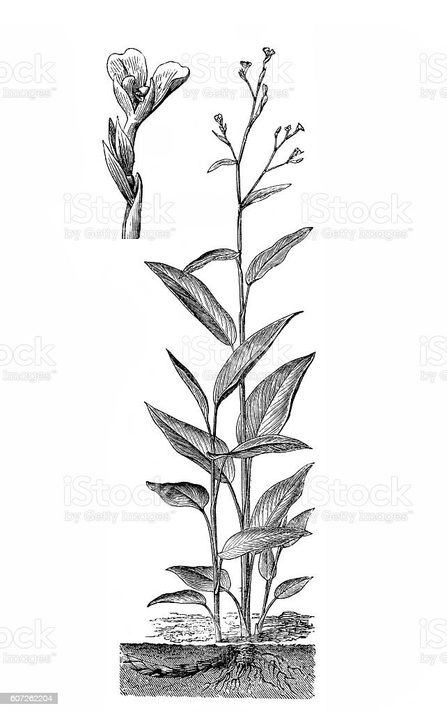 Arrowroot (Maranta arundinacea) vector art illustration