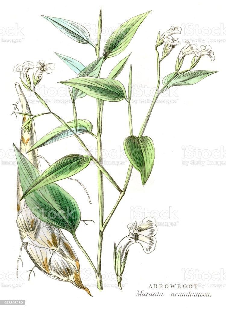 Arrowroot tuber plant engraving 1857 vector art illustration