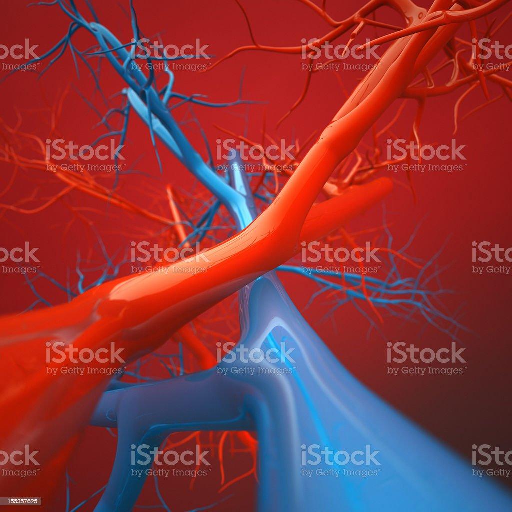 Arteries and Veins vector art illustration