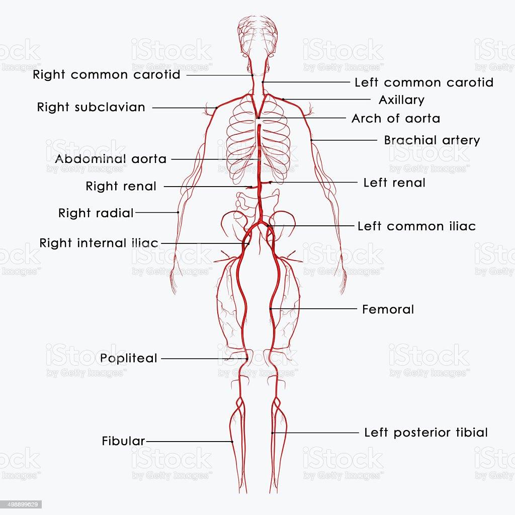 Arteries vector art illustration
