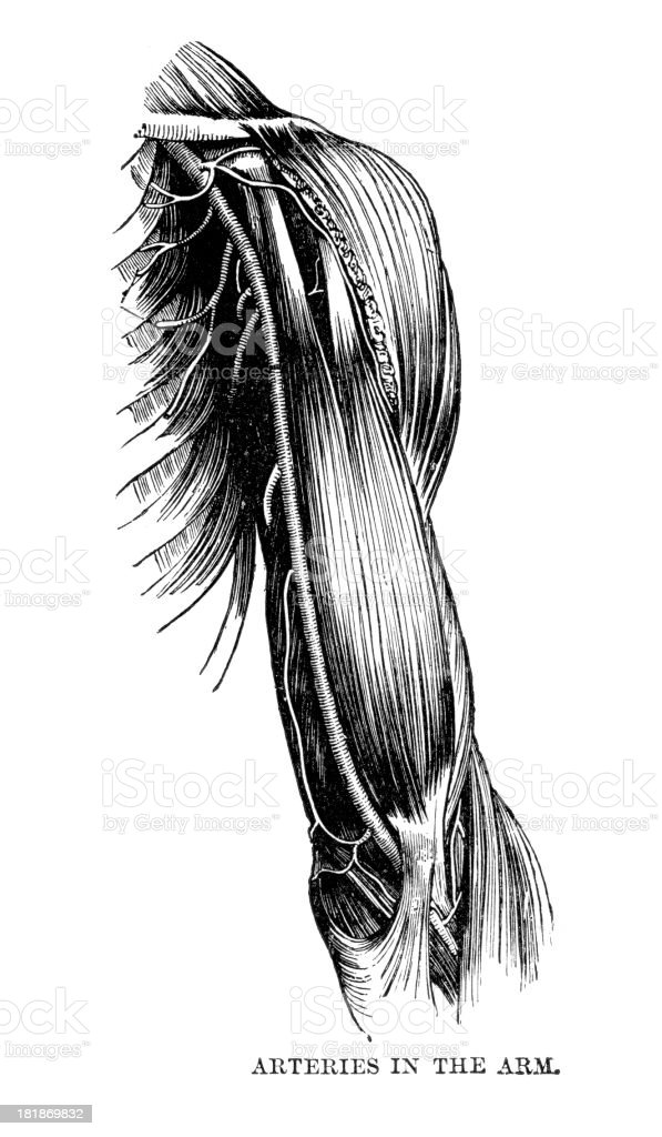 Arteries in the Arm royalty-free stock vector art