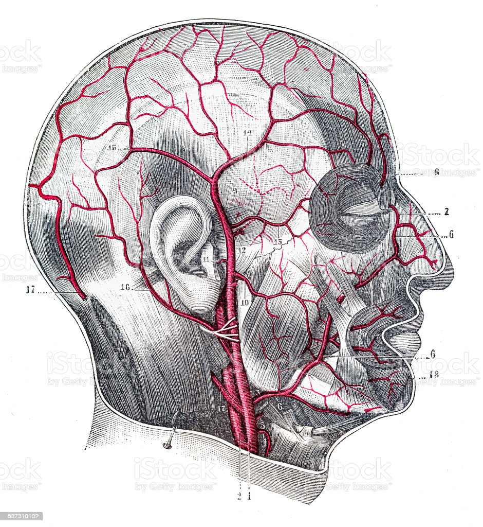 Arteries of the cranium and face engraving 1894 vector art illustration