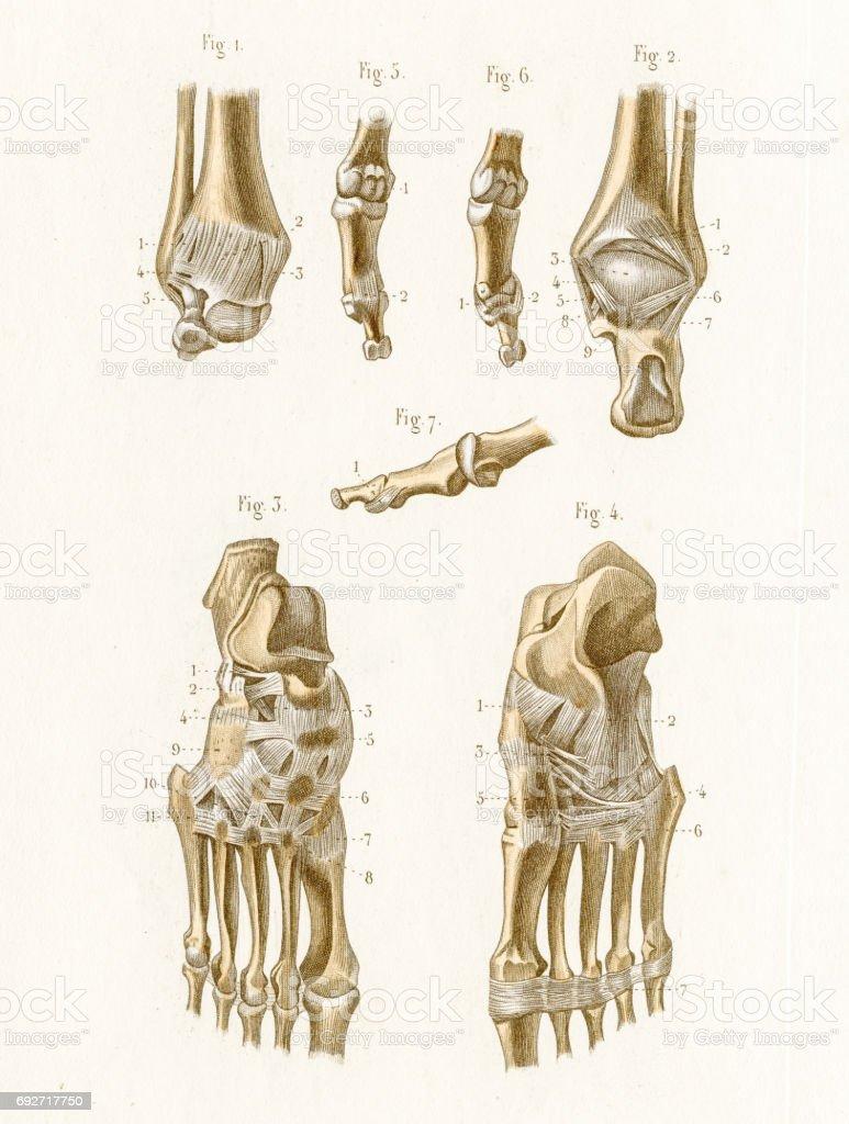 Articulation anatomy engraving 1886 vector art illustration