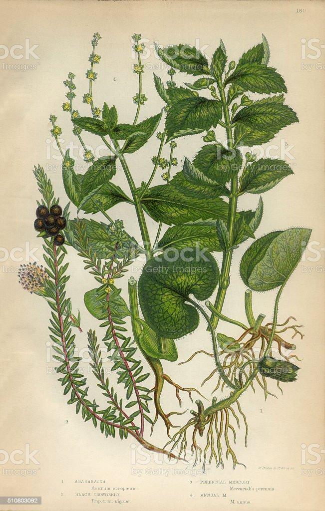Asababacca, Abacá, Hemp, Banana, Crowberry, Mercury, Mercurialis, Victorian Botanical Illustration vector art illustration