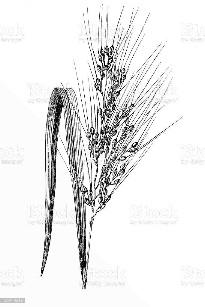 Asian Rice (Oryza sativa) vector art illustration