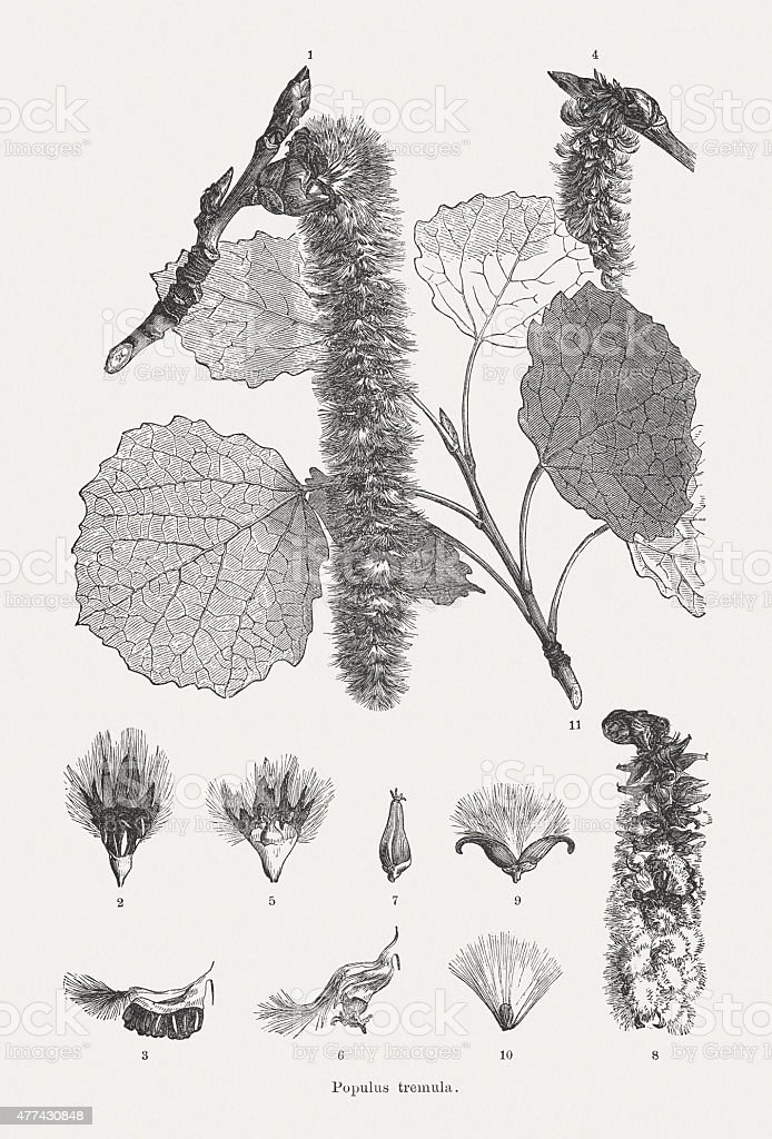 Aspen (Populus tremula), wood engravings, published in 1877 vector art illustration