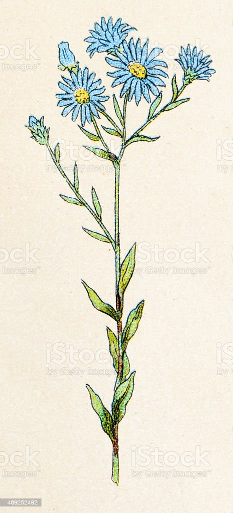 Aster amellus (European Michaelmas Daisy), plants antique illustration vector art illustration