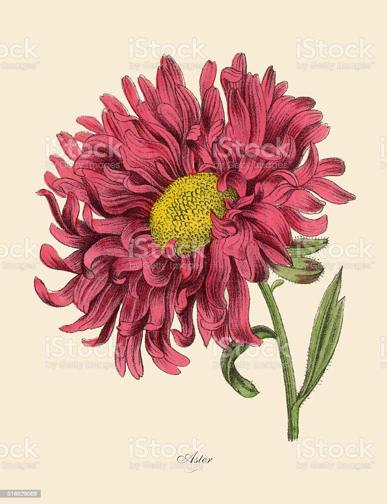 Aster or Star Plant, Victorian Botanical Illustration vector art illustration