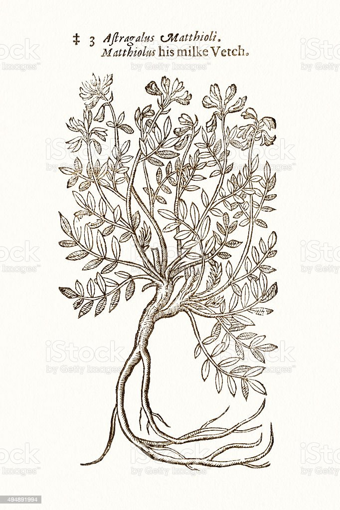 Astragalus plant 17 century botanical vector art illustration