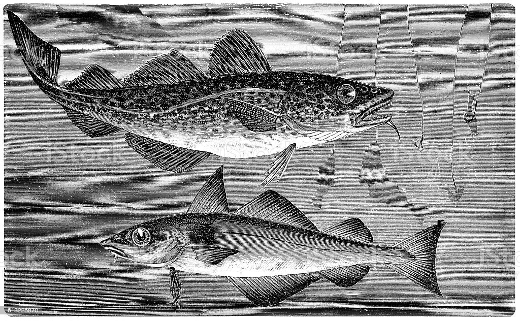Atlantic cod (Gadus morhua) and Haddock (Melanogrammus aeglefinus) vector art illustration