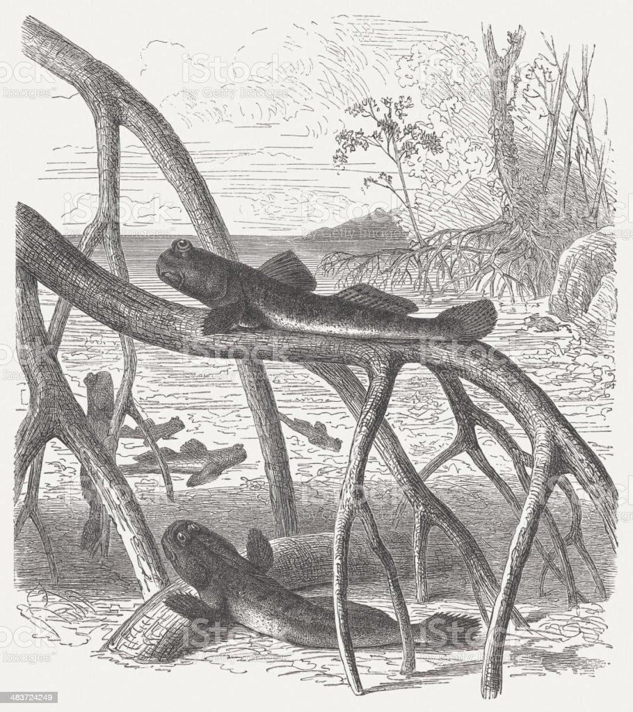 Atlantic mudskipper vector art illustration