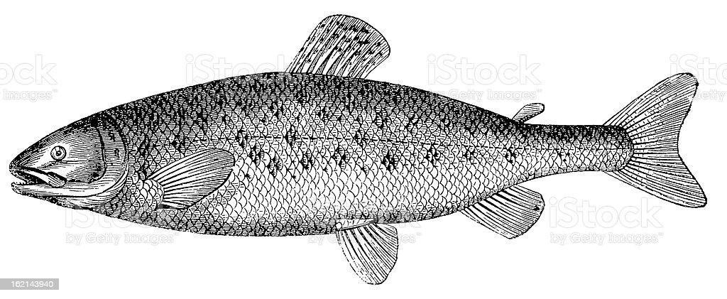 Atlantic salmon (Salmo salar), antique black and white illustration royalty-free stock vector art