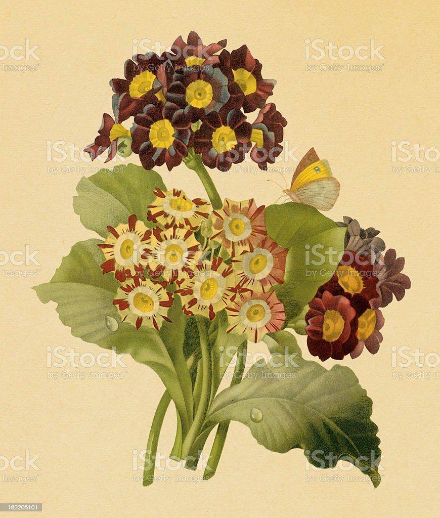 Auricula | Antique Flower Illustrations royalty-free stock vector art