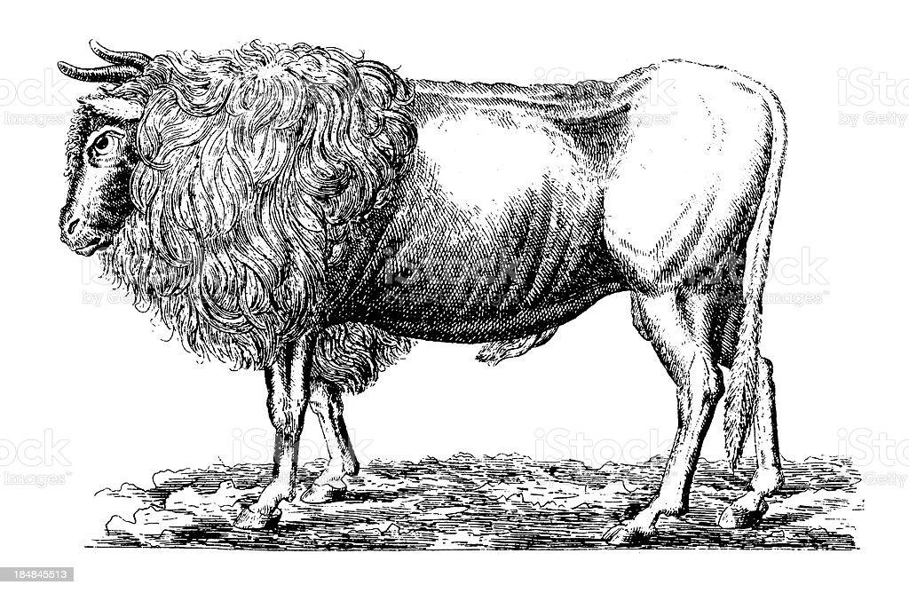 Auroch   Antique Scientific Illustrations royalty-free stock vector art