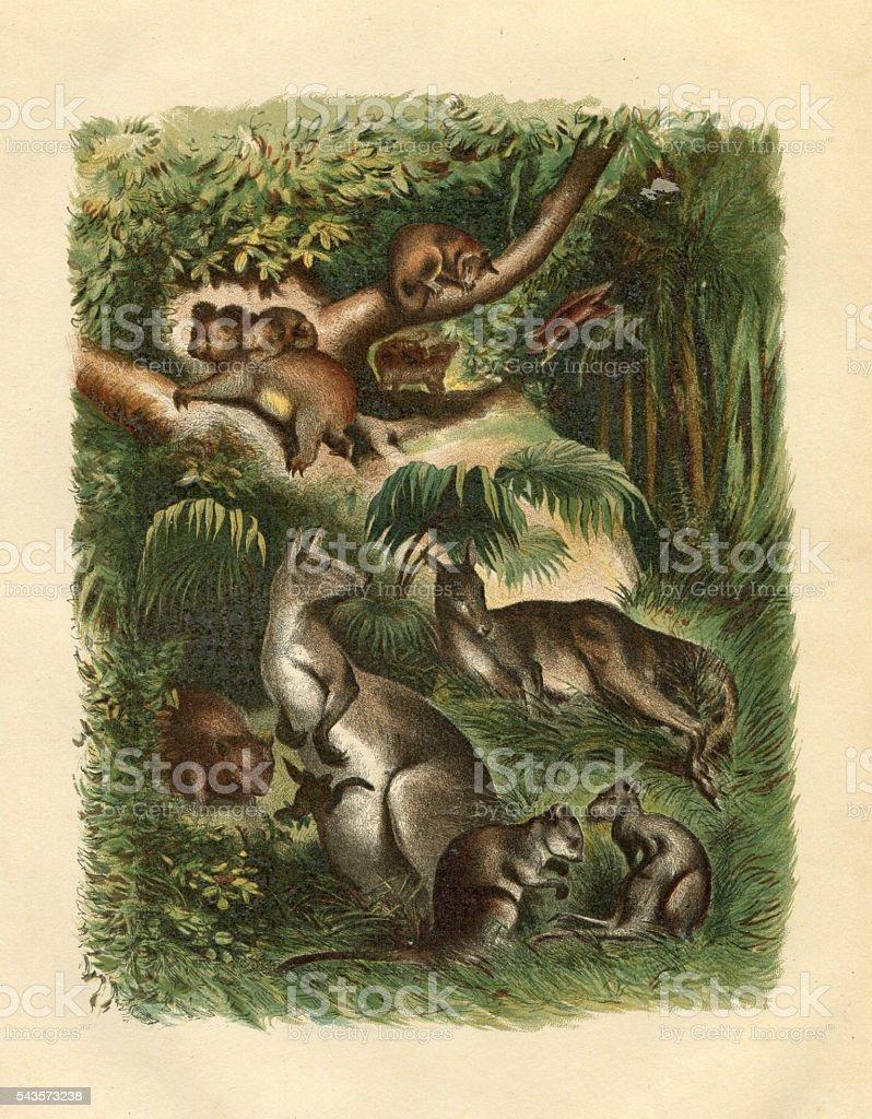 Australian marsupial Koala Kangaroo Wallaby engraving vector art illustration