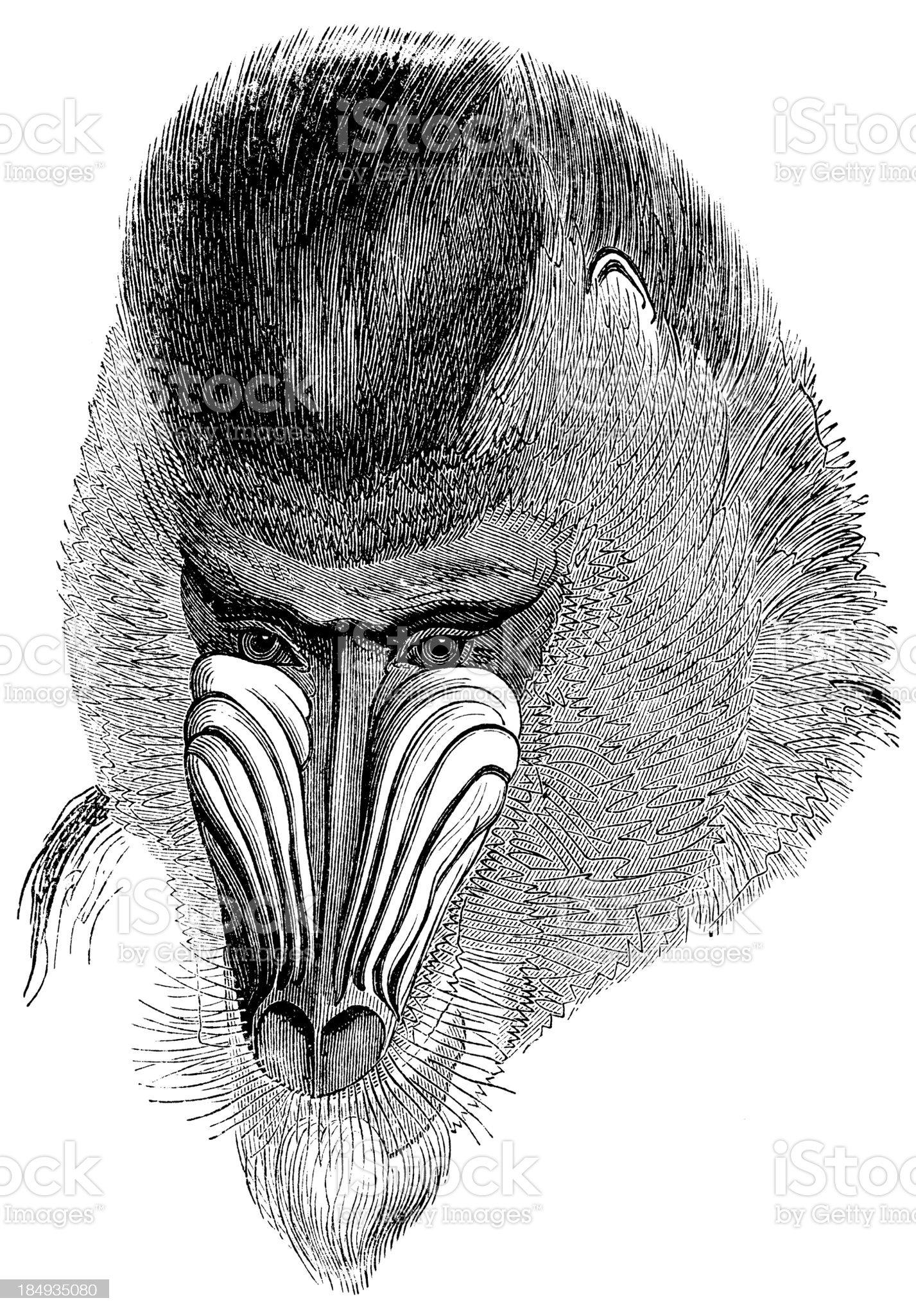 Baboon royalty-free stock vector art