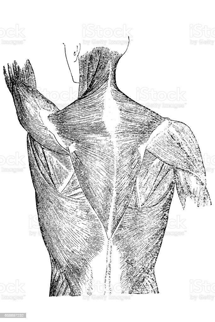 Back muscles anatomy vector art illustration