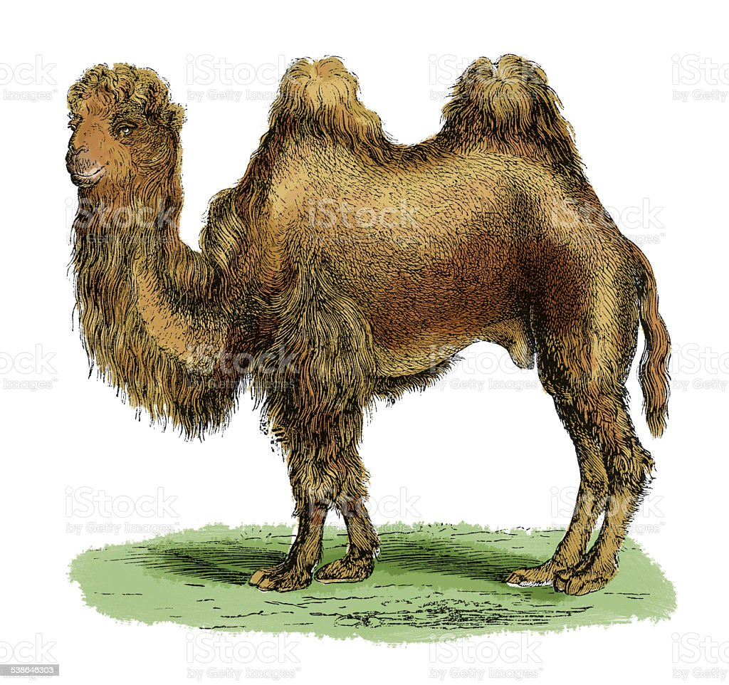 Bactarian camel (antique engraving) vector art illustration