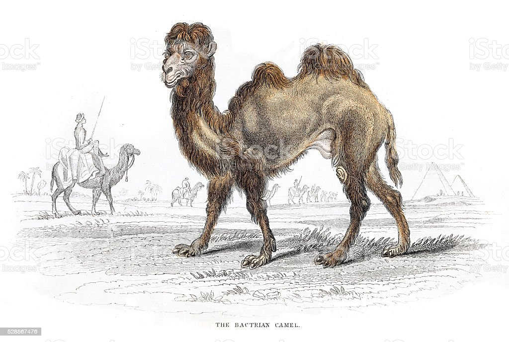 Bactrian Camel engraving 1855 vector art illustration